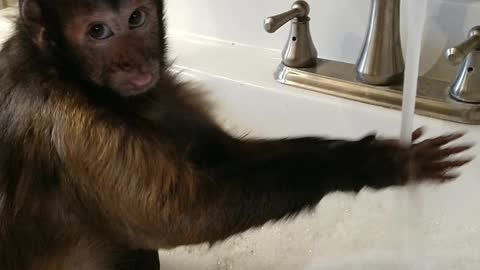Capuchin monkey takes relaxing bath in the sink