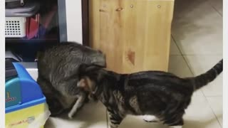 Cat best friends enjoy an adorable playtime session