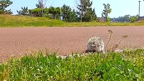 hedgehog moves so quickly on the grass