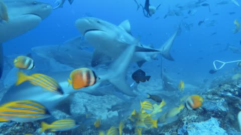 Dozens and dozens of bull sharks come dangerously close to divers