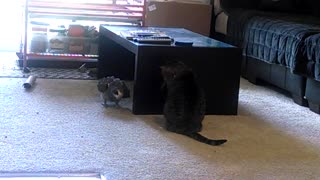 Parrot vs Cat: Living room stand off!