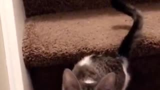 White and grey cat meowing on brown stairs - Video