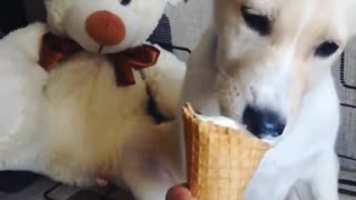 Labrador puppy loves ice cream  - Video