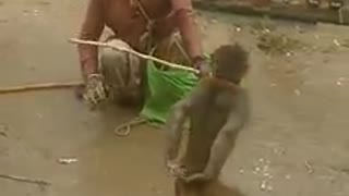 Monkey perform antics - Video