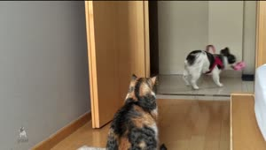 French Bulldog desperately tries to play with unamused cat - Video