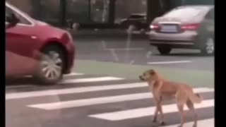 Cute dog is scared to cross the road