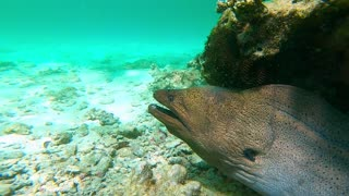 Face to Face with a Massive Moray Eel