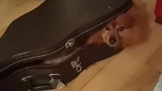 Dog laying down inside guitar case