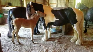 Adorable foal grooming his cousin  - Video