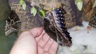 Blue Morpho Butterfly - Video