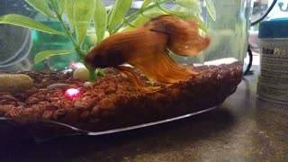 Betta fish frantically follows laser pointer - Video