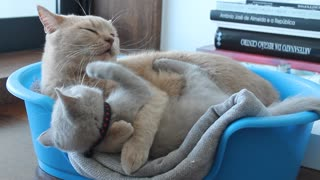 Cats fighting in a small bed - Video