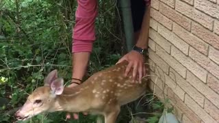 Trapped Fawn Rescued from Tight Fence