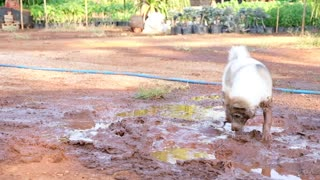 Dog Loves Rolling in Mud - Video