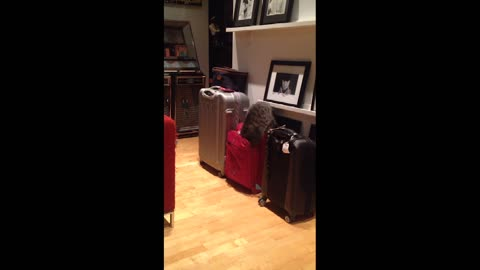 Curious cat gets stuck in a suitcase