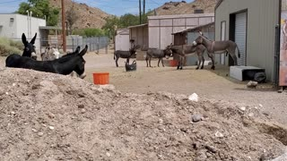 Herd of Cute Donkeys Fight watch whole thing