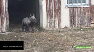 Moment Cute Baby Rhino Takes First Steps Outside