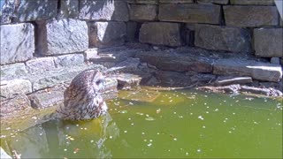 Tawny Owl Bathes in Garden