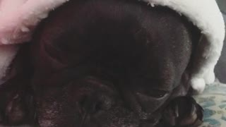 Dog sleeping in bed  - Video