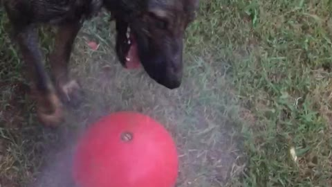 Czech Wolfdog and GSD playing in water hose