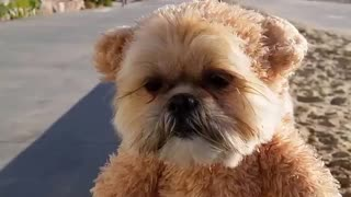 Munchkin the Teddy Bear strolls along the beach - Video
