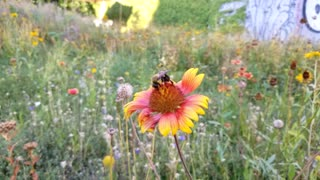 Bee Buzzing from flower to flower - Video