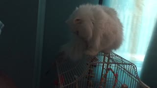 cat is being rude to parrot by taking over his cage! - Video