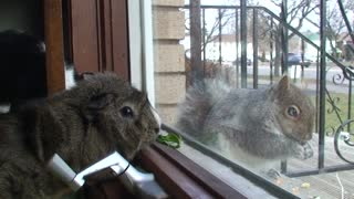 Cat and Guinea Pig befriend wild squirrel