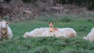 Lazy Shepherd Dog Took A Day Off And Hitched A Ride On A Sheep