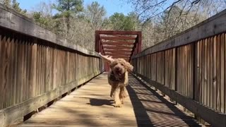 Brown dog running on bridge with tongue out in slow motion