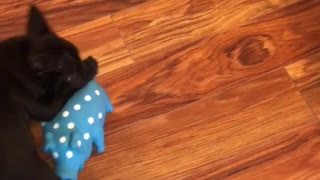 Black french bulldog dog playing with blue toy hardwood floors