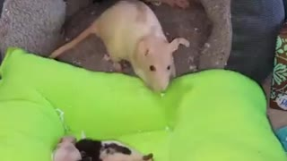 mother mouse cares for little mice - Video