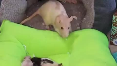 mother mouse cares for little mice