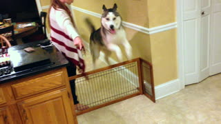 Energetic Husky can jump for days!