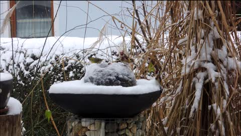 Busy day for birdies at fountain and feeders in the snow