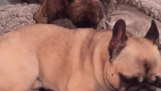 Dog licks other dog's back on couch - Video