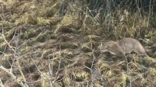Deer Decoy - Video