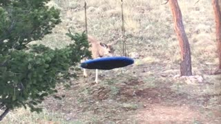 Fawn Just Really Wants to Swing