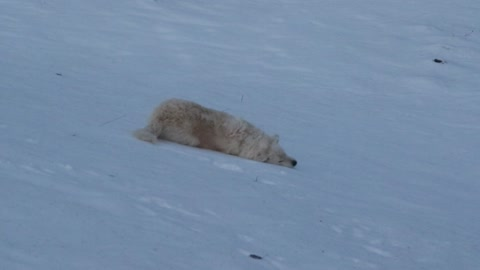 Guard dog body slides down icy hillside