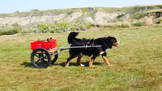 Big dog graciously pulls puppy friends in cart - Video