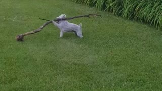 White dog carries giant tree branch - Video
