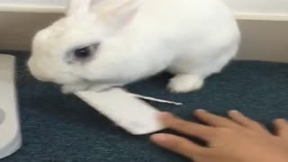 White Rabbit is playing with keys  - Video