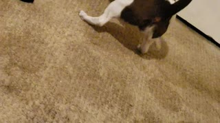 Blind puppy Banana plays solo fetch