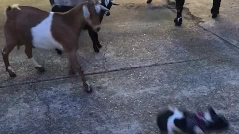 Black and white french bulldog frenchie has standoff with goats gets bucked