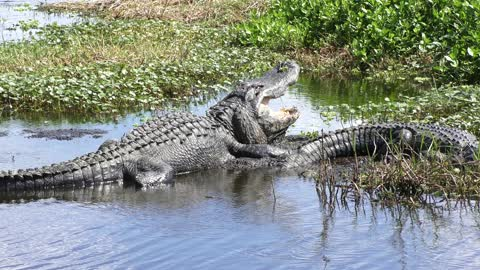 alligator with its mouth wide open