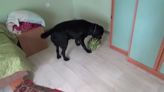 Dog playing with watermelon