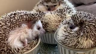 Hedgehogs sitting in teacups will brighten your day