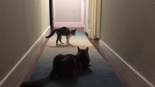 Kitten tries to intimidate big cat, hilariously fails