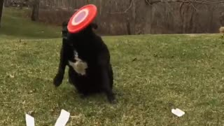 Black dog getting hit with frisbee in slow motion  - Video