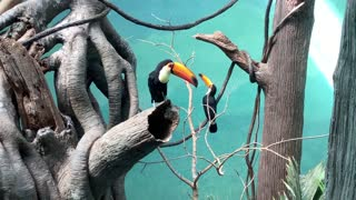 Toucan making beautiful movements in its cage